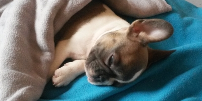 Image shows a puppy having a nap